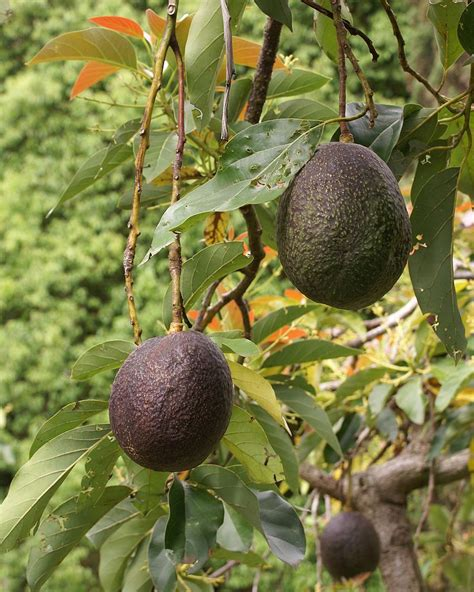 avocado tree from seed fruit seed dispersal by animals newton s apple org uk