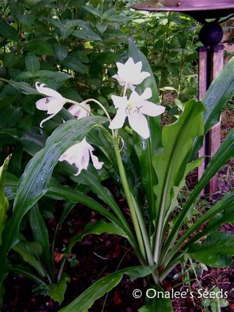 crinum lily  jagus st christopher lily swamp lily
