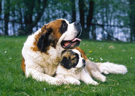best large breeds for families best large breeds for families photo gallery