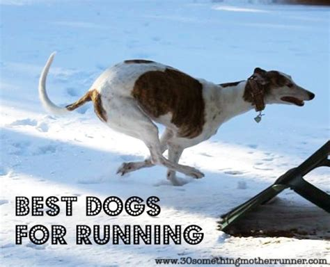 best dogs to run with top 10 best dogs for running thirty something runner
