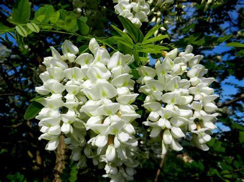 fiori acacia fiori in cucina quali fiori si possono mangiare cuciniamo