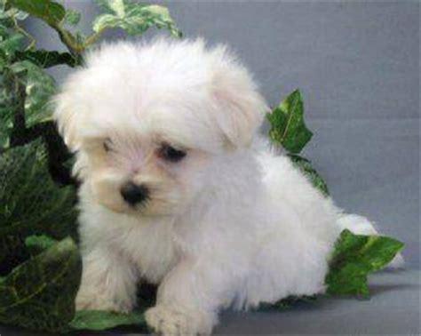 cani ideali per appartamento cuccioli di maltese mini ideali per la compagnia
