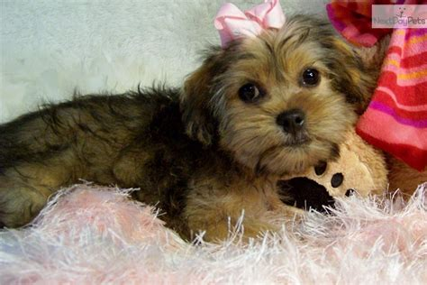 shih tzu puppies for sale in st louis mo shih tzu puppy for sale near st louis missouri 5ce62c30 6741
