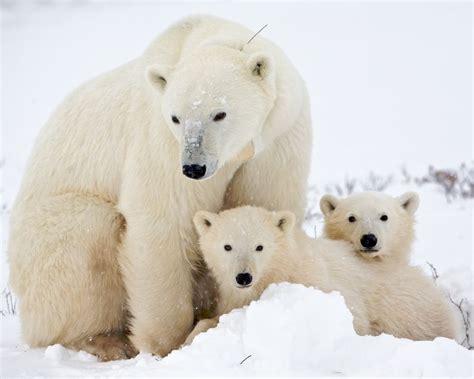 Two Polar Bears In A Bathtub by Polar Bears Polar Cub 8 X 10 Glossy Photo Picture