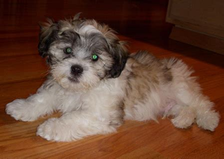 zuchon puppies for sale shichon zuchon puppies for sale zuchon and shichon breeder s folder