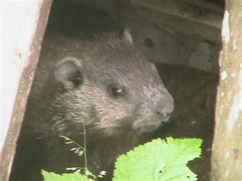 How To Keep Groundhogs Out Of Garden by Protect Your Garden From Woodchucks Vegetable Gardener Use