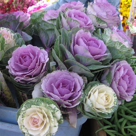 cabbage ornamental mix ornamental kale cutflower cabbage mix brassica oleracea