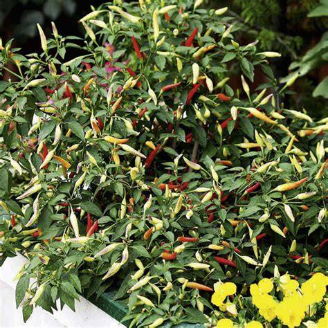 pepper seeds basket  fire  dobies