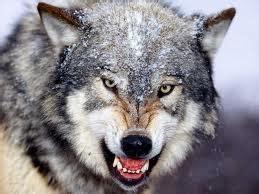 alpha wolf growling wolf image