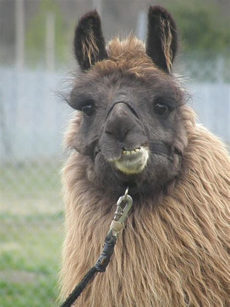 the smiling llama by lou in canada on deviantart