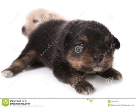 how before puppies open black pomeranian newborn puppy on white stock image