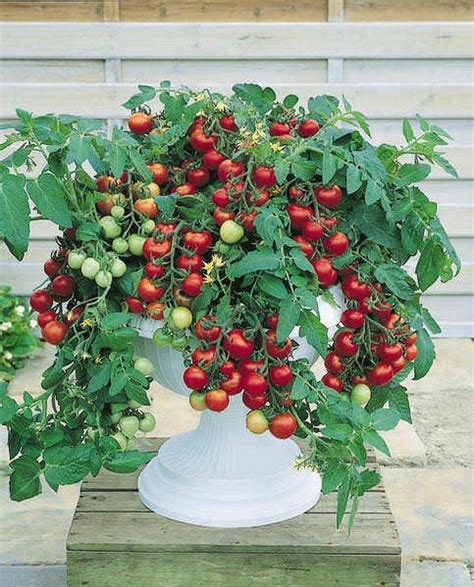 Tomat Cherry Juliet cherry tomato seeds 12 top cherry tomatoes vegetable seeds