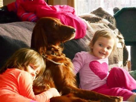 golden retriever breeders edmonton golden retriever puppies for sale adoption from sherwood park alberta edmonton