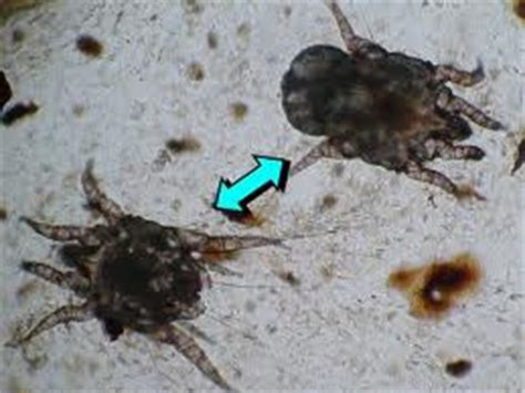 how do dogs get ear mites ear mites in cats lookup beforebuying