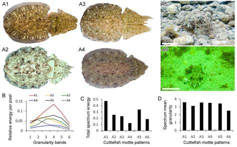 quantitative pattern definition mottle camouflage patterns in cuttlefish quantitative