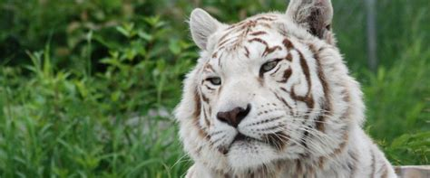 Kaos Endangered Species the about white tigers the wildcat sanctuary