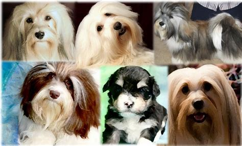 havanese puppies minnesota names for dogs with meaning havanese puppies mn my barks much when i leave