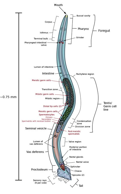 labelled diagram of ascaris nematoda the reproductive system