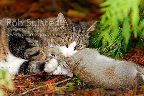 cat killing  young wild rabbit   caught