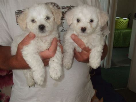 crested puppy for sale crested puppies for sale in the uk crested breeds picture