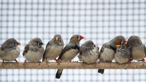 video zebra finch call prepares their eggs for climate