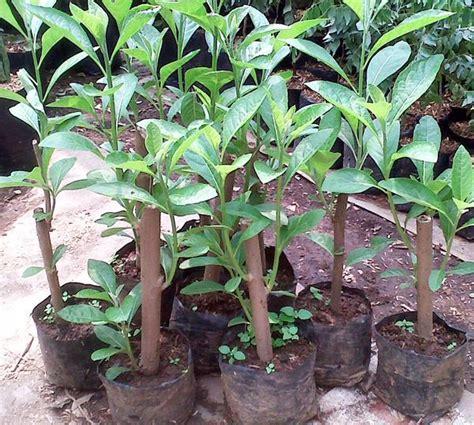 pengusaha anak pokok bismillah daun afrika selatan