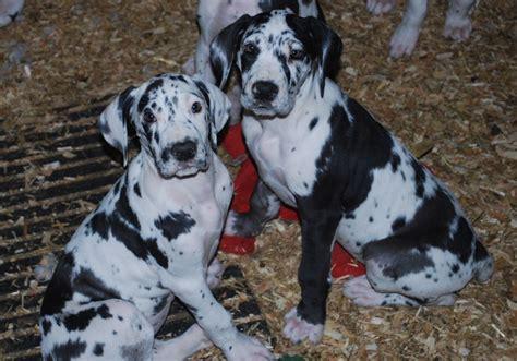 harlequin great dane puppies harlequin great dane puppies bedworth warwickshire pets4homes