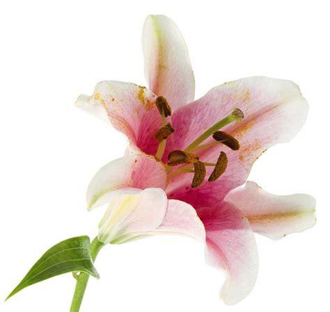 fiore giglio significato significato fiori il giglio fioriperte significato