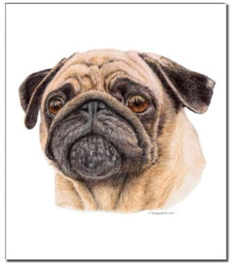 different colored pugs pug prints posters paintings pugs dogbreed gifts