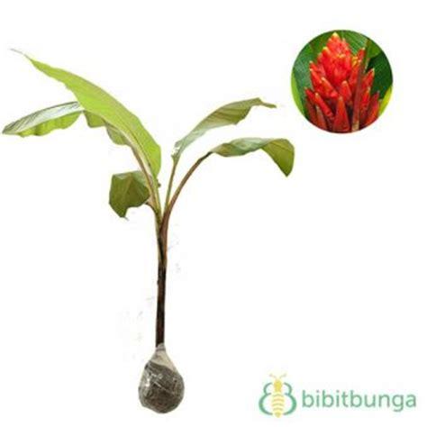 Tanaman Hias Pisang Songgo Langit tanaman pisang songgo langit scarlet banana jual
