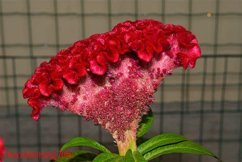fiori creste di gallo creste di gallo non peppers pepperfriends