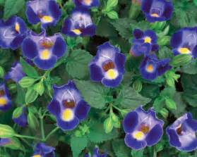 Landscapers In My Area by Catalina 174 Midnight Blue Wishbone Flower Torenia