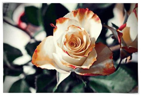 imagenes de rosas que digan te quiero imagenes de rosas q digan te quiero dibujo imagenes