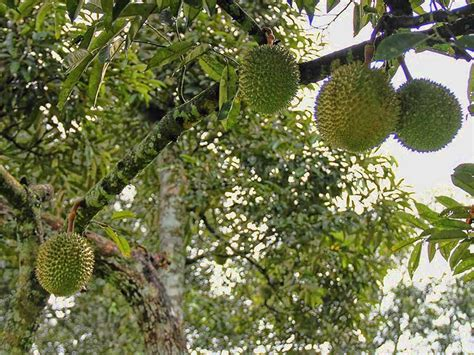 deskripsi  klasifikasi tanaman durian hijau