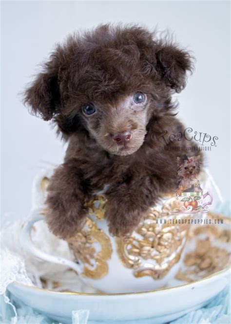 chocolate poodle puppies for sale teacup puppies for sale teacups puppies boutique