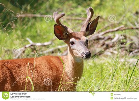 small buck small buck royalty free stock photography image 33186927
