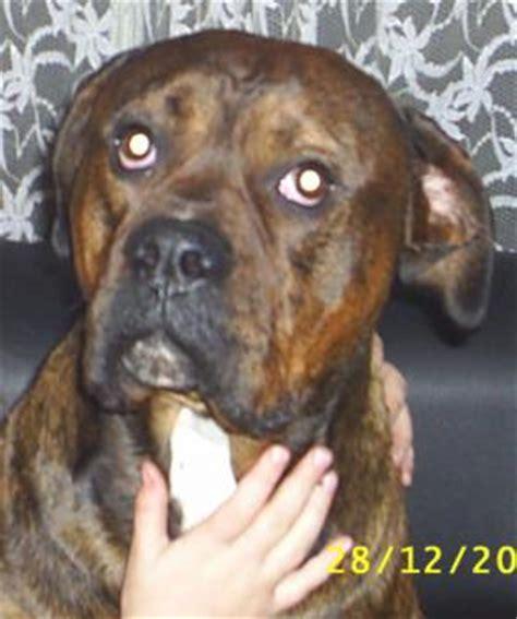 american bulldog rottweiler boxer mix bailey american bulldog x boxer x rottweiler