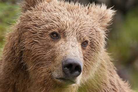 brown bear brown bear 0241137292 best national parks in the united states for wildlife watching travel for wildlife