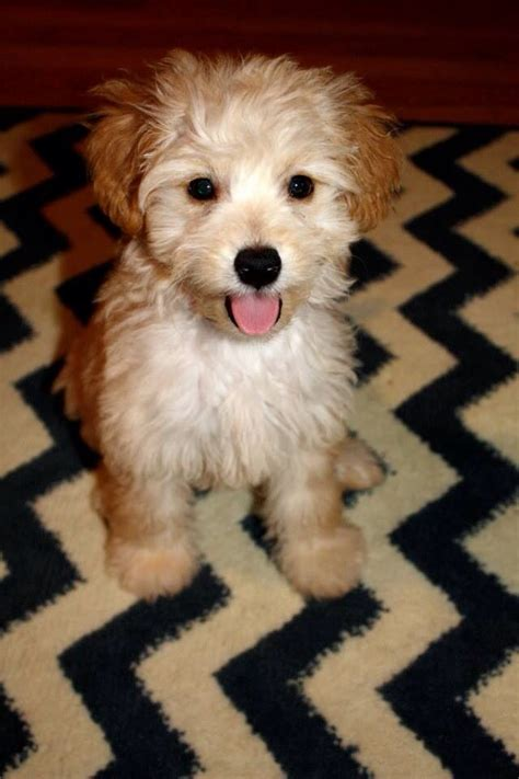 miniature goldendoodle lifespan best 25 golden doodle mini ideas on golden