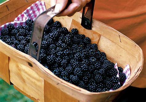 how to pick and cook blackberries bbc good food