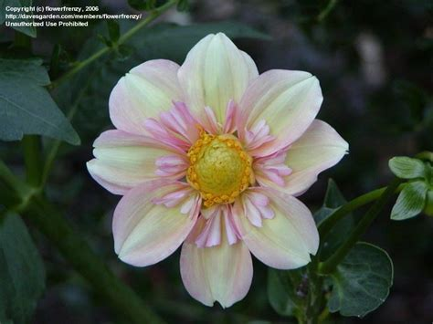 Dahlia Apple plantfiles pictures collarette dahlia apple blossom