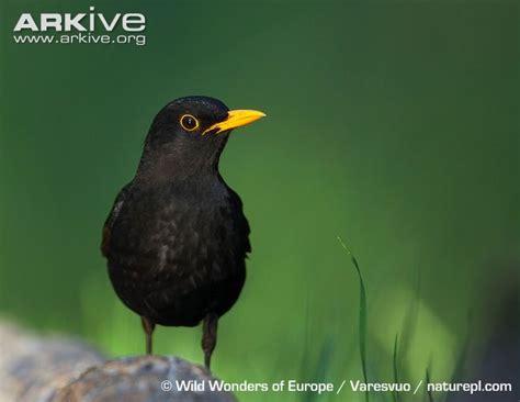blackbird videos photos and facts turdus merula arkive