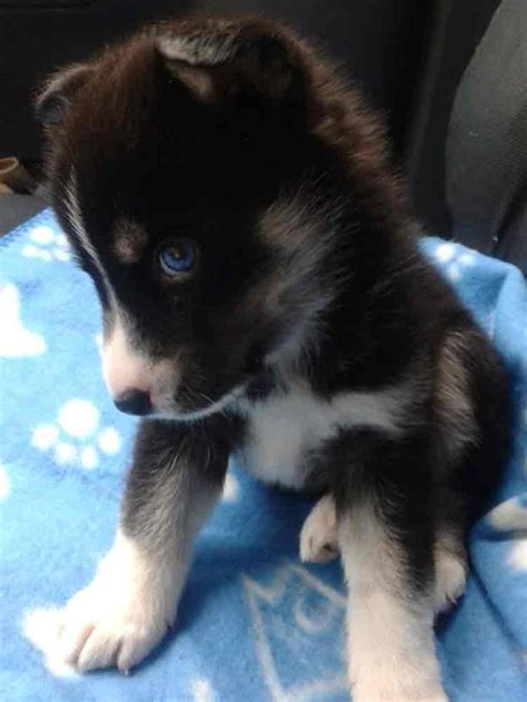 how big do pomeranian husky mix get 113 best images about pomsky puppies for sale on
