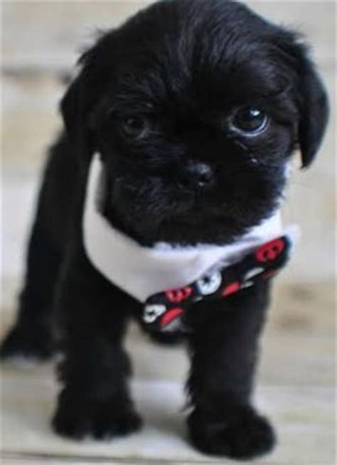 pug and teacup yorkie mix search search and on
