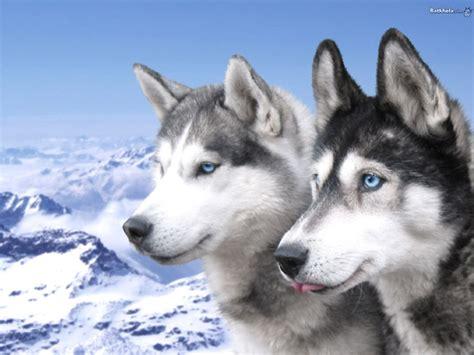 minicuentos de lobos y el perro mas viejo de la historia curiosidades de animales y naturaleza