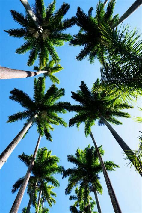 Palm Tree - palm tree on