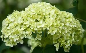 garden flowers hydrangeas in all their different forms