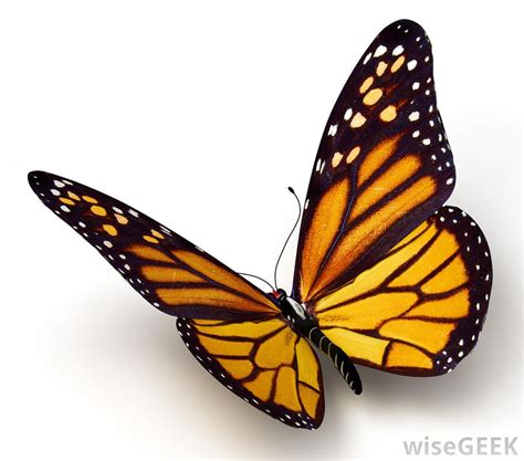 Monarch Design What Are Some Forms Of Mimicry In Nature With Picture