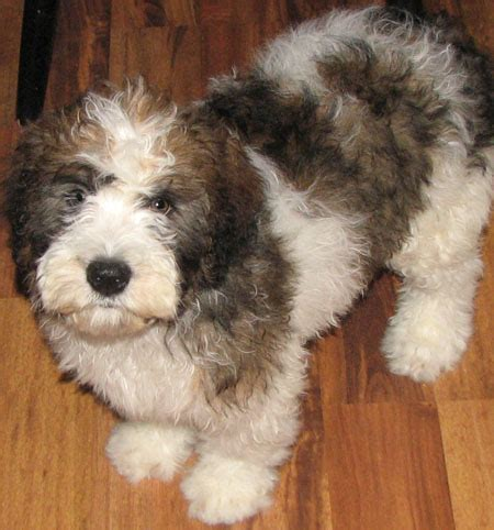 st berdoodle puppies st berdoodle st bernard standard poodle mix info and pictures