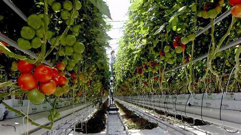 backyard farms tomatoes whiteflies force major maine farm to destroy crop